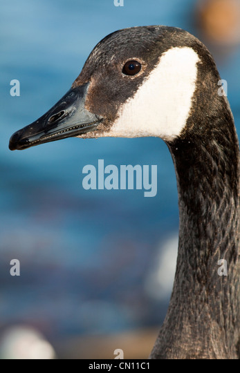 Canada Goose mens sale fake - Canada Goose Geese Stock Photos & Canada Goose Geese Stock Images ...