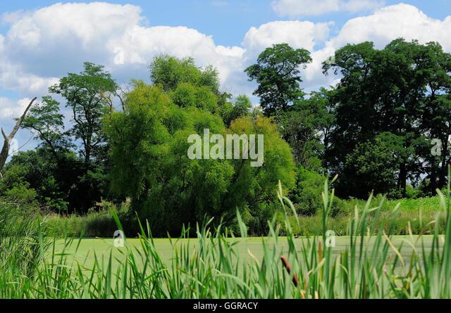 L Clamitans Swamp Grasses Stock Ph...