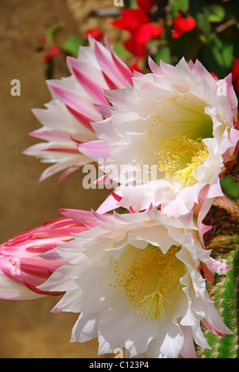 kaktus stock photos kaktus stock images alamy. Black Bedroom Furniture Sets. Home Design Ideas