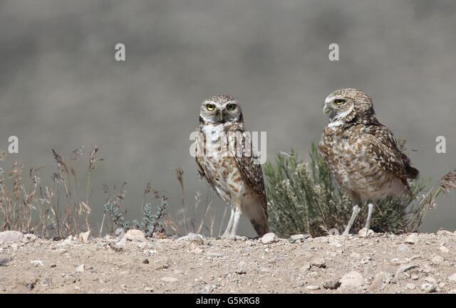 Burrowing owl california stock photos burrowing owl for California chiude l utah
