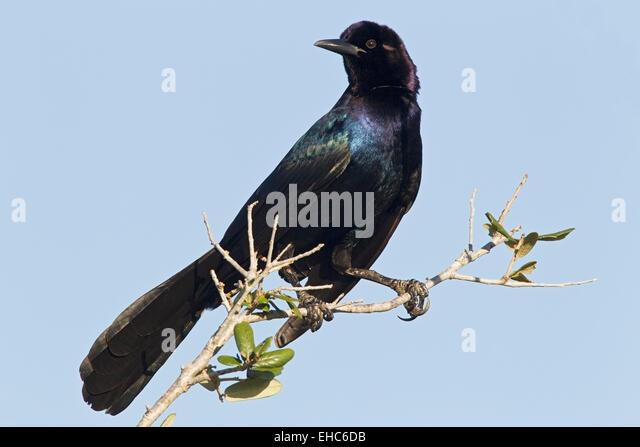 Bird Flying Twig In Mouth Stock Photos & Bird Flying Twig ...  Bird Flying Twi...