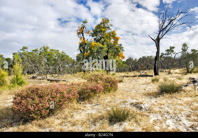 Australian Native Christmas Tree Nuytsia Stock Photos Wildlfowers Western Trees