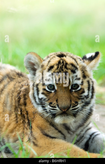 Tiger Cub Stock Photos & Tiger Cub Stock Images - Alamy Cute Siberian Tiger Cubs
