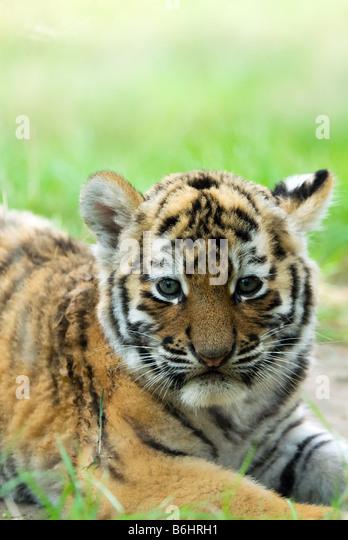 Tiger Cub Stock Photos & Tiger Cub Stock Images - Alamy Cute Siberian Tiger Cubs