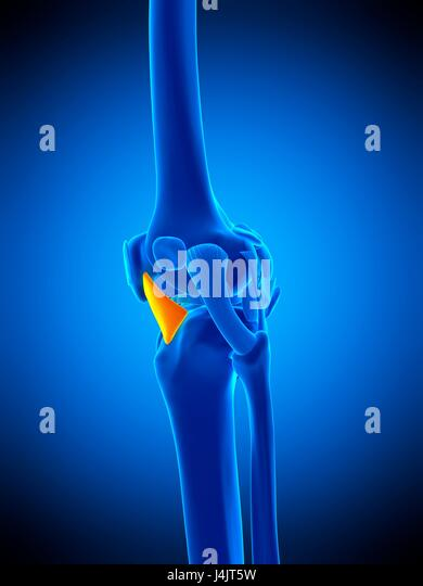Lateral Patellar Ligament Stock Photos & Lateral Patellar Ligament ...