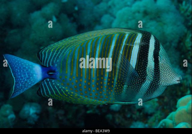 Scientific name zebrasoma desjardinii stock photos for Scientific name of fish