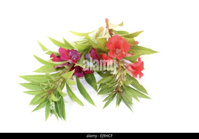 rose bachblüten 50 plus