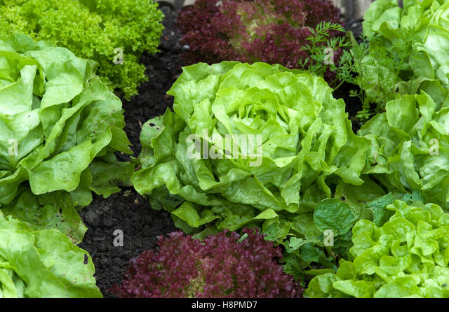 boston lettuce stock photos boston lettuce stock images. Black Bedroom Furniture Sets. Home Design Ideas