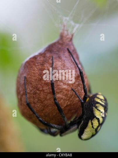 Garden spider eggs stock photos garden spider eggs stock images alamy for Garden spider egg sac