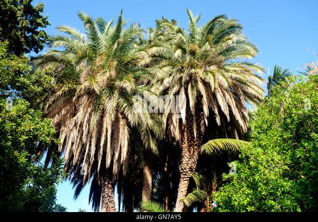 Van palm tree stock photos van palm tree stock images alamy for Olive garden van dyke