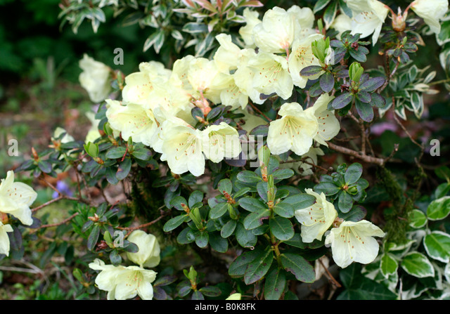 dwarf rhododendron stock photos dwarf rhododendron stock. Black Bedroom Furniture Sets. Home Design Ideas
