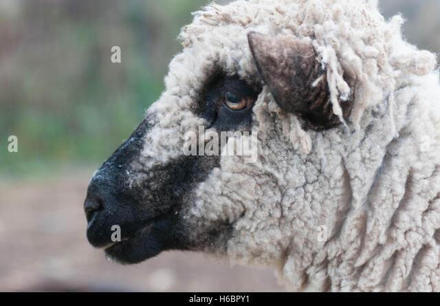 Black Nose Sheep Stock Photos & Black Nose Sheep Stock ...