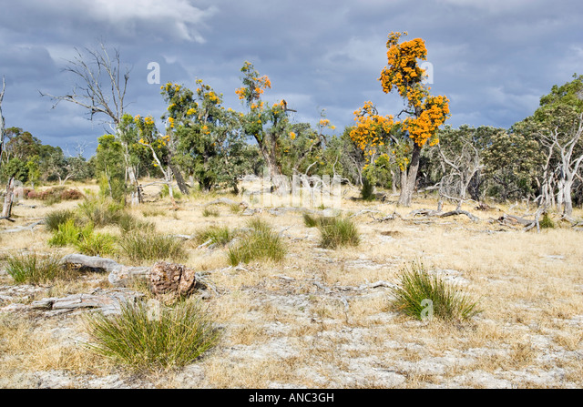 Australian Native Christmas Tree Flower Stock Photos Western Trees Nuytsia