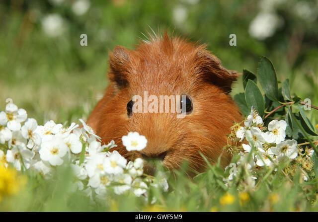 Sheltie guinea pigs - photo#37