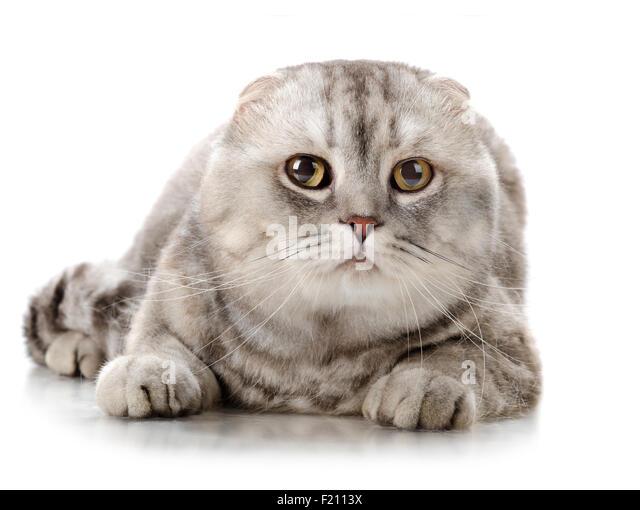Highland Fold Cat Bree...