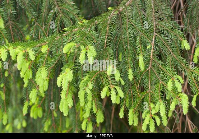 Norway Spruce Christmas Tree Stock Photos