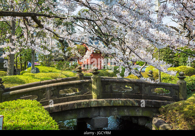 a stone bridge with cherry blossom trees in asakusa tokyo japan stock - Japanese Garden Cherry Blossom Bridge