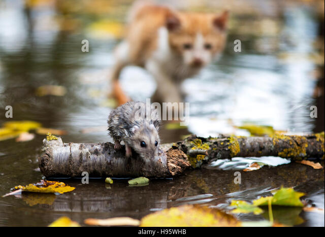 Cat Chasing Mouse Stock Photos Amp Cat Chasing Mouse Stock