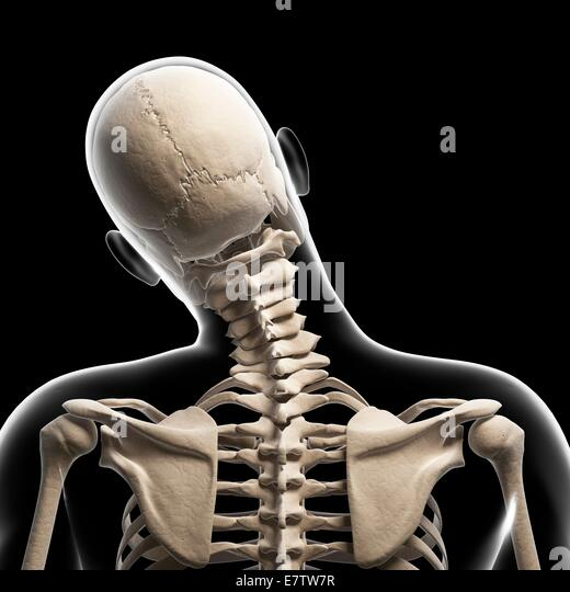 human skull neck bones computer stock photos & human skull neck, Skeleton