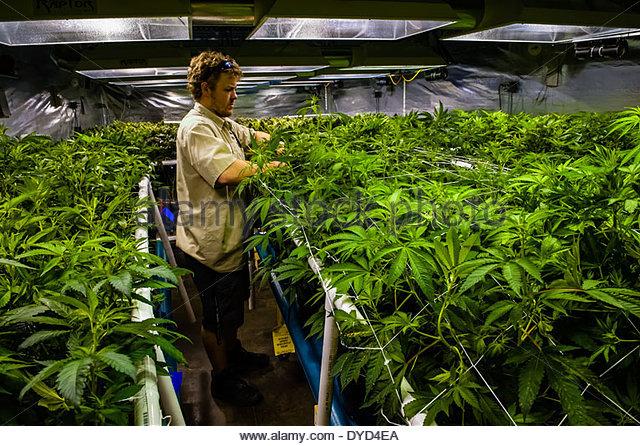 5 microcap marijuana stocks