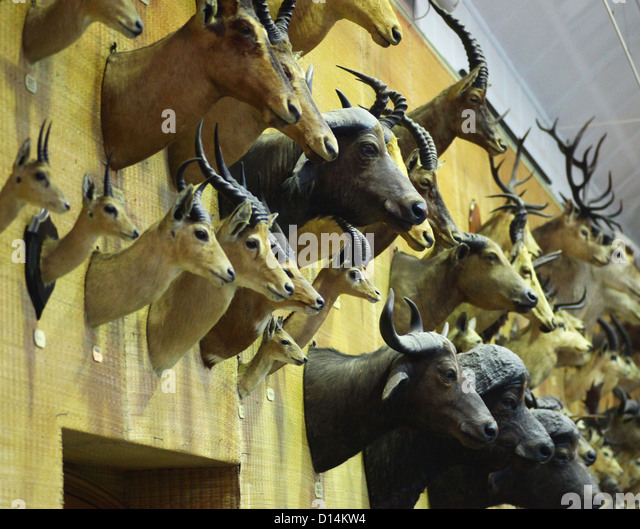 animal heads stuffed mounted on stock photos animal heads stuffed mounted on stock images alamy. Black Bedroom Furniture Sets. Home Design Ideas