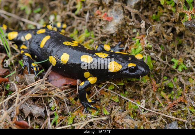 colorful salamander eastern tiger salamander ambystoma tigrinum