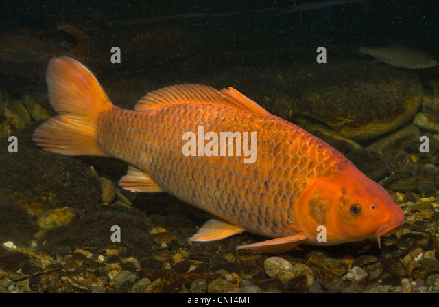 Cm stock photos cm stock images alamy for Cyprinus carpio koi