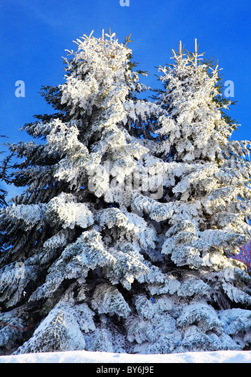 snow covered fir tree stock photos snow covered fir tree. Black Bedroom Furniture Sets. Home Design Ideas