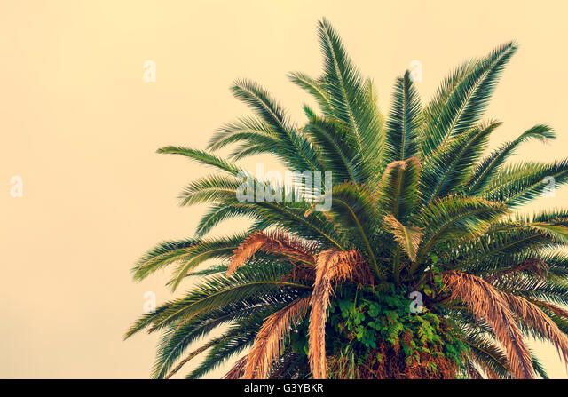 palm tree krone branches - photo #10