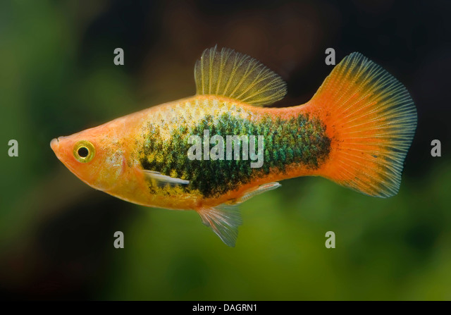 aquarium southern platyfish maculate platy xiphophorus maculatus breed ...