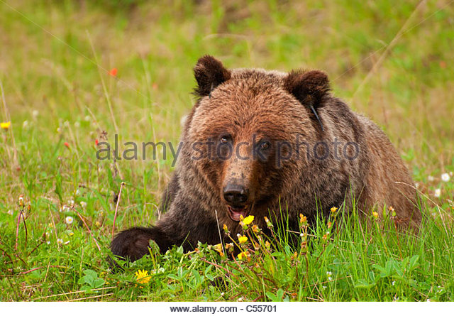grizzly bear resting in - photo #20