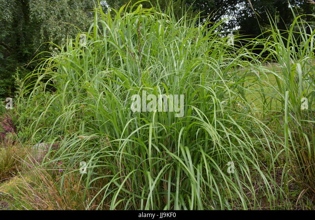 Ornamental grasses border grasses stock photos for Very tall ornamental grasses