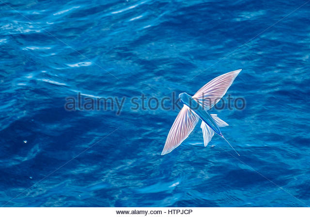 Exocoetus stock photos exocoetus stock images alamy for Flying fish name
