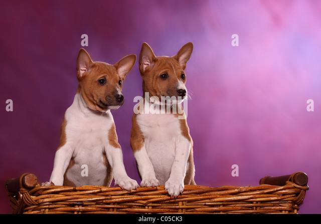 Short Leg Dog Stock Photos Amp Short Leg Dog Stock Images