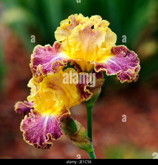 iris rhizome stock photos iris rhizome stock images alamy. Black Bedroom Furniture Sets. Home Design Ideas