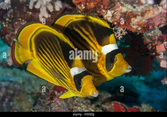 Opinion very Info on striped butterfly fish