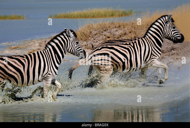 Zebras Running Through Water Zebra Stripes Running ...