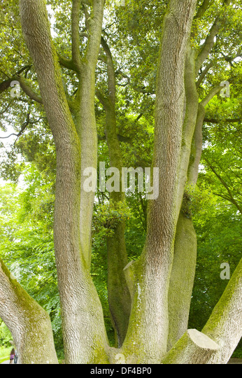 Quercus ilex garden stock photos quercus ilex garden for Garden design kilkenny