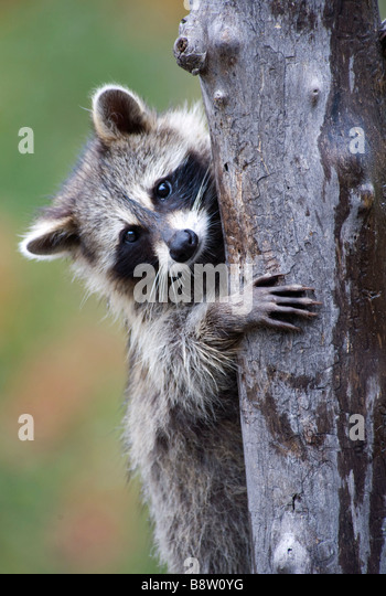 how to stop raccoons from climbing trees