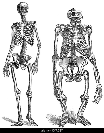 gorilla engraving stock photos & gorilla engraving stock images, Skeleton