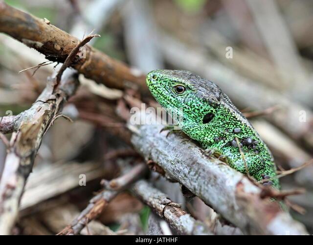 male sand lizard (lacerta agilis) on dörnberg - Stock Image