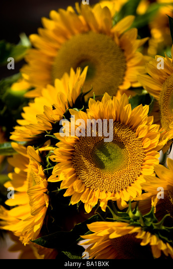 sunflower field picture blooming - photo #30