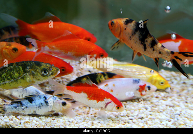 Koi aquarium stock photos koi aquarium stock images alamy for Carp in a fish tank