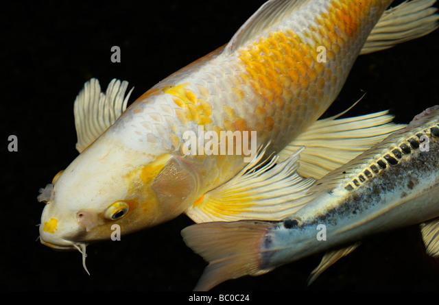 Yamabuki stock photos yamabuki stock images alamy for Yamabuki koi fish
