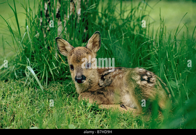 Roe Deer Fawn Capreolus Stock Photos