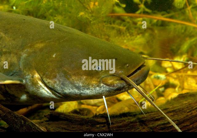 Sheatfishes Stock Photos & Sheatfishes Stock Images - Alamy