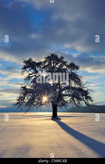 Malus snow cloud stock photos malus snow cloud stock for Domestica in svizzera
