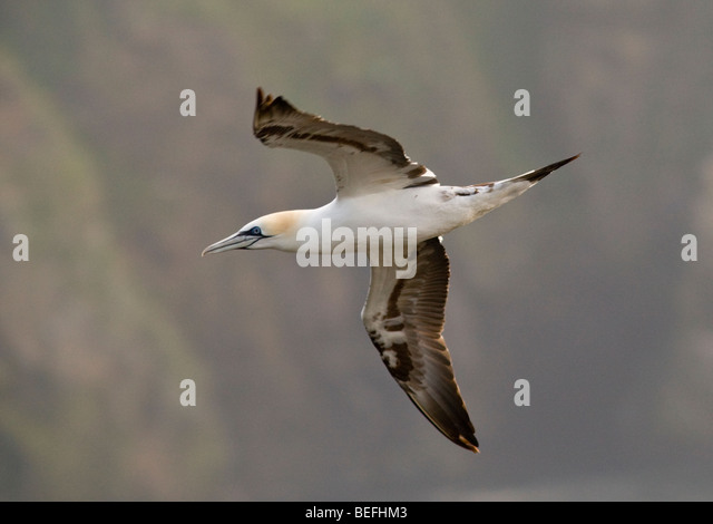 Flying Fly Flight Gannet Sula Bassana Shetland Stock Photos ...