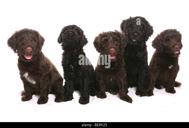 Brown Portuguese Water Dog Swimmingportuguese Water Dog Puppies