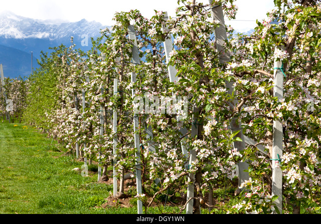 Blooming apple trees south tyrol stock photos blooming for Lana bei meran